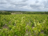 Cognac Paradis Vineyard