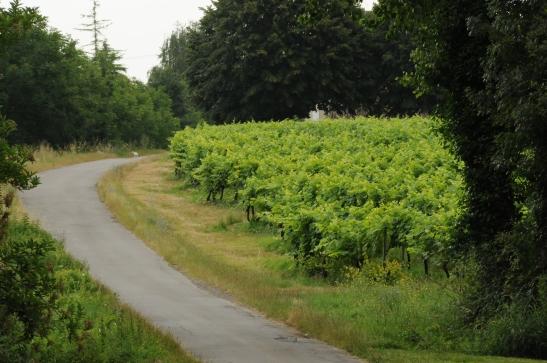 Cognac vineyard, landscape